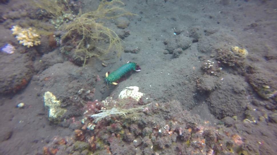 Peacock Mantis Shrimp Odontodactylus scyllarus Liberty wreck Bali