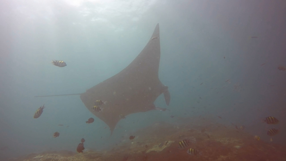 Manta Ray at Manta Point being cleaned
