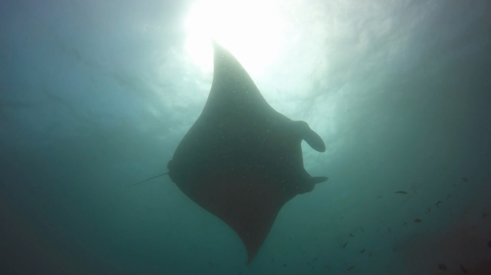 Manta Ray at Manta Point cleaning station in Nusa Penida Bali
