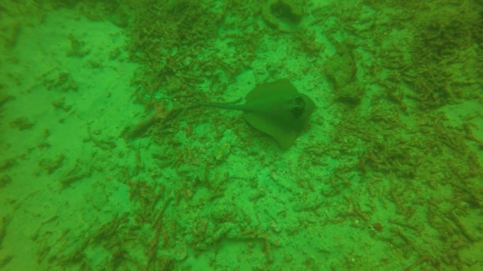 A stingray lurking around in the green gloom.