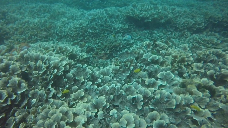 Hard Coral Field in Tepekong Dive Site