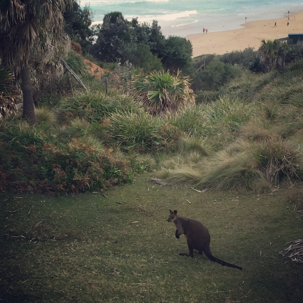 wallaby at burning palms beach